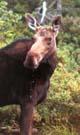 V500 Dribbling Moose